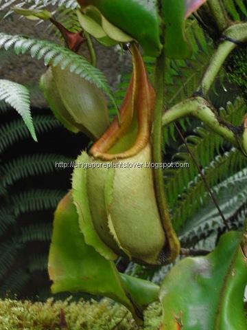 Pitcher plants